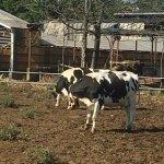 牛と戯れる